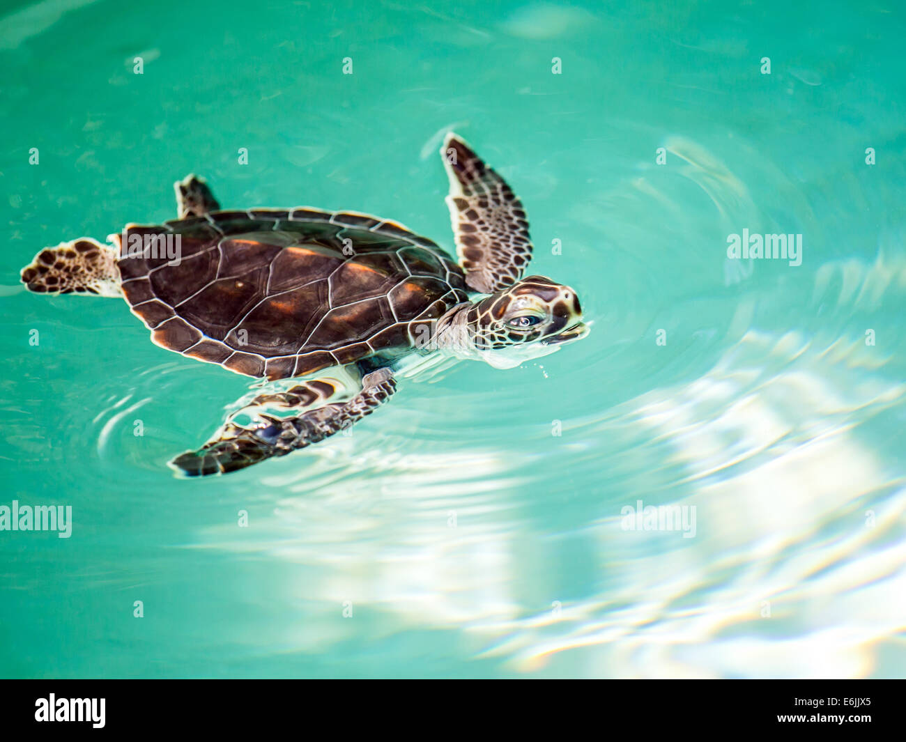 Albino Baby Sea Turtles Swimming
