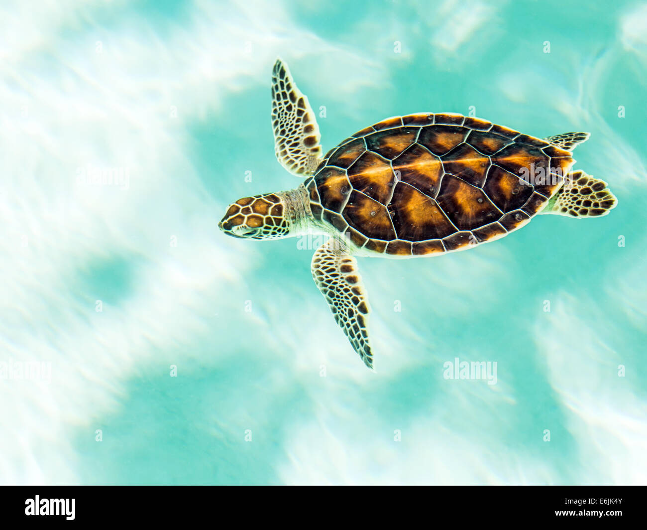 Cute endangered baby turtle swimming in turquoise water Stock Photo