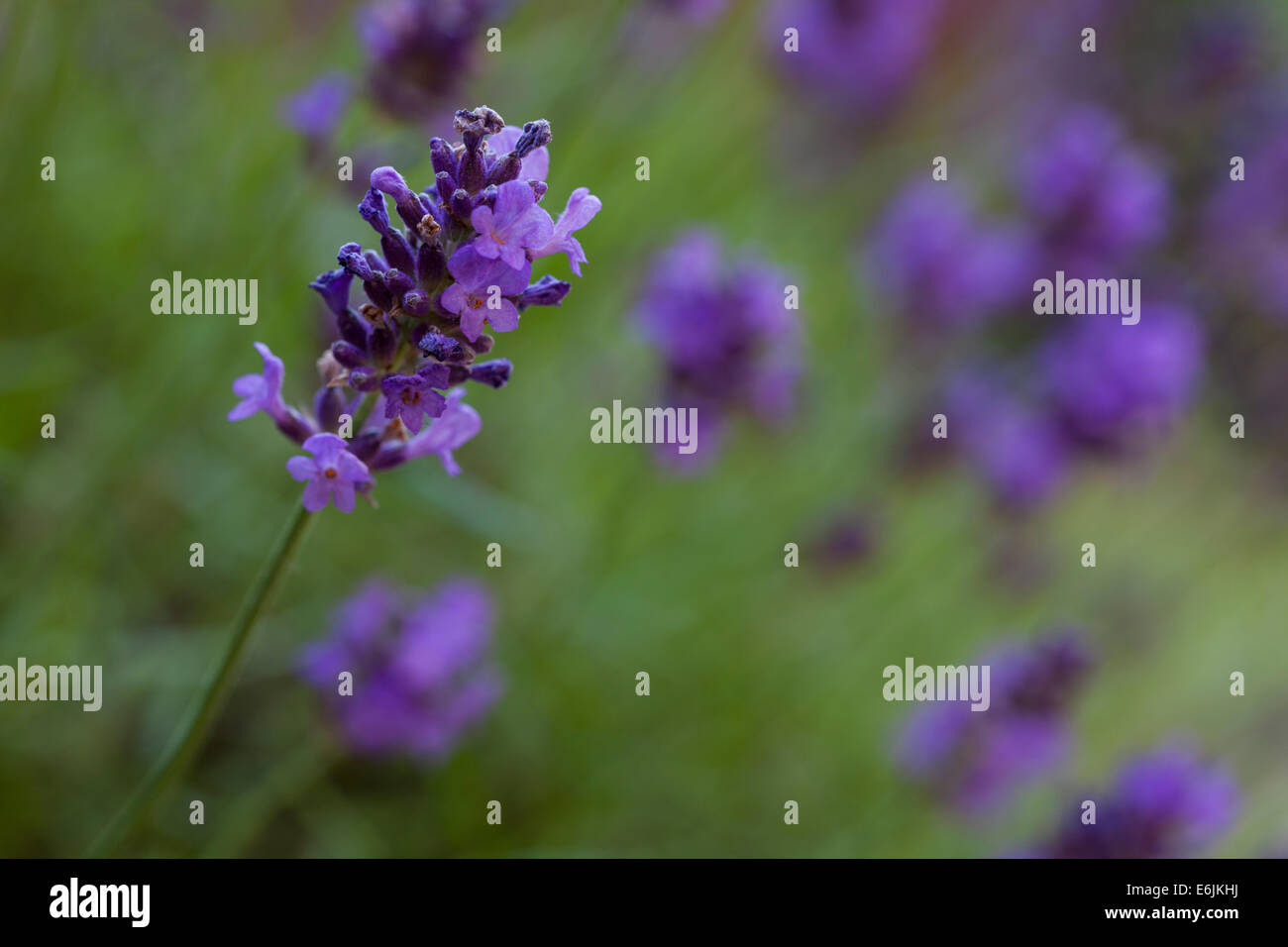 Close-up of a single flowering lavender stem with blurred stems in the background photographed life size using a - Stock Image