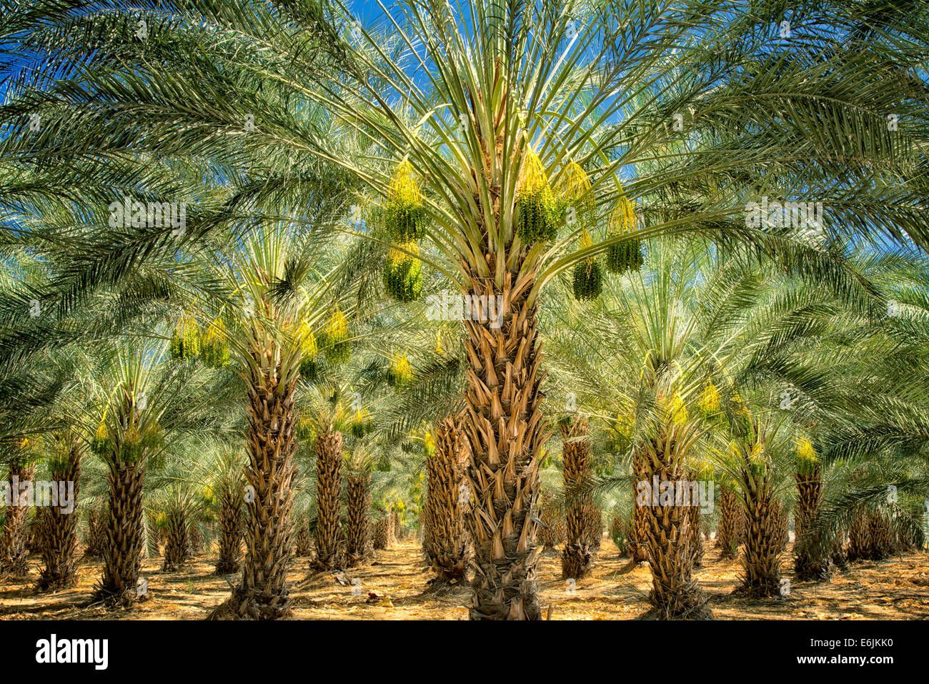 Date palm tree orchard with ripening fruit. Indio, California - Stock Image