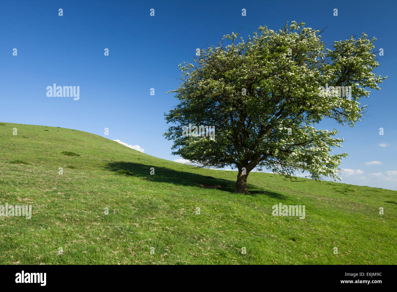 A solitary hawthorn tree full of white spring flower on the slopes of Honey Hill near Cold Ashby in Northamptonshire, - Stock Image