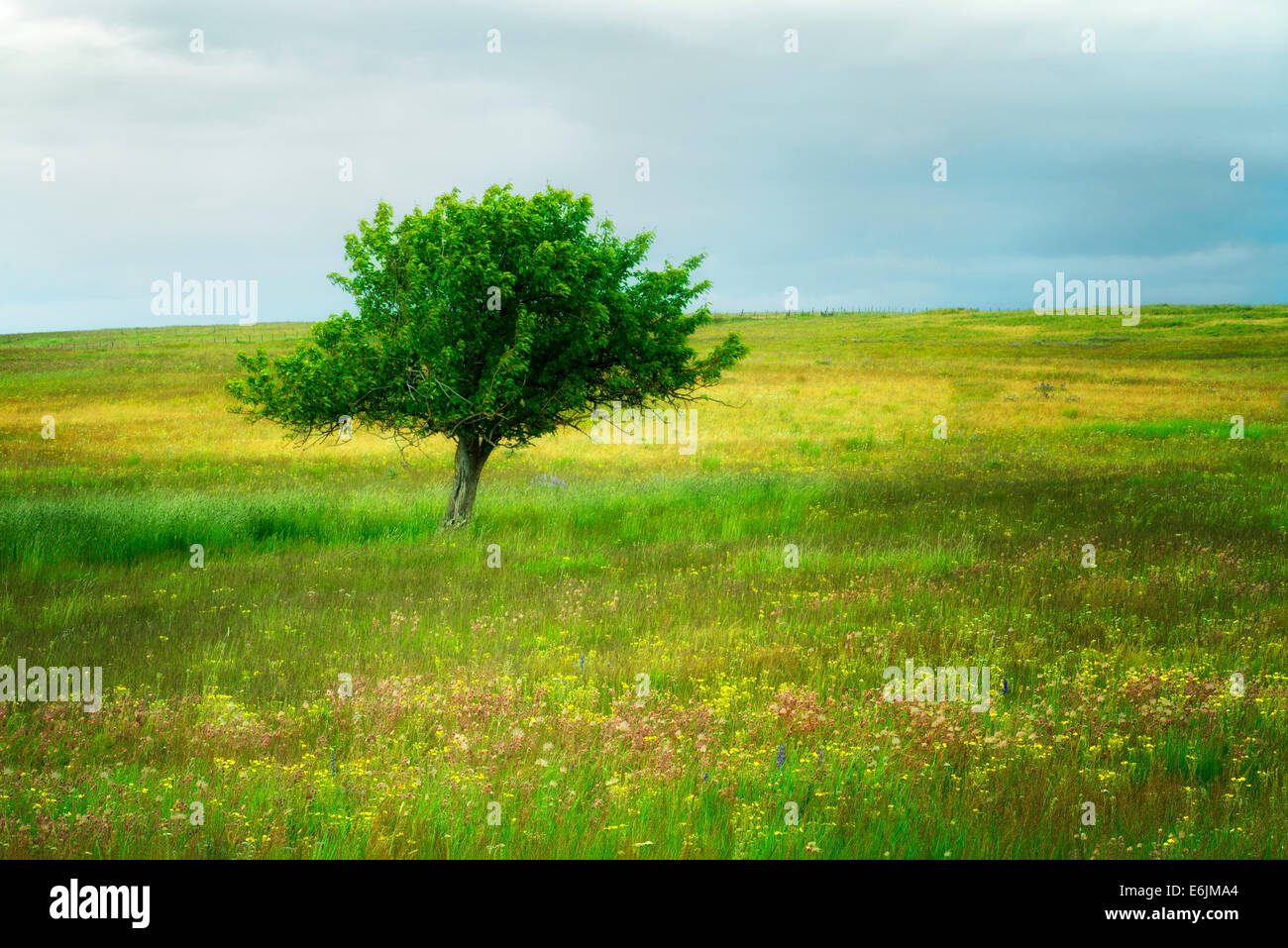 Lone tree and wildflowers. Zumwalt Prairie, Oregon - Stock Image