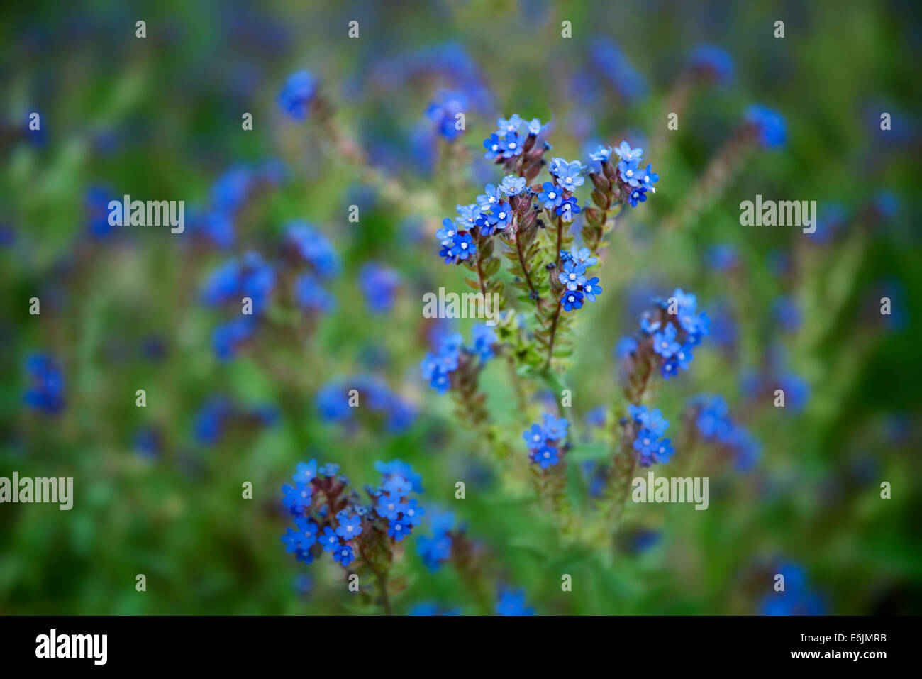 Variety of Forget-Me-Not. Along Imnaha River, Eastern Oregon. Hells Canyon National Recreation Area, Oregon - Stock Image