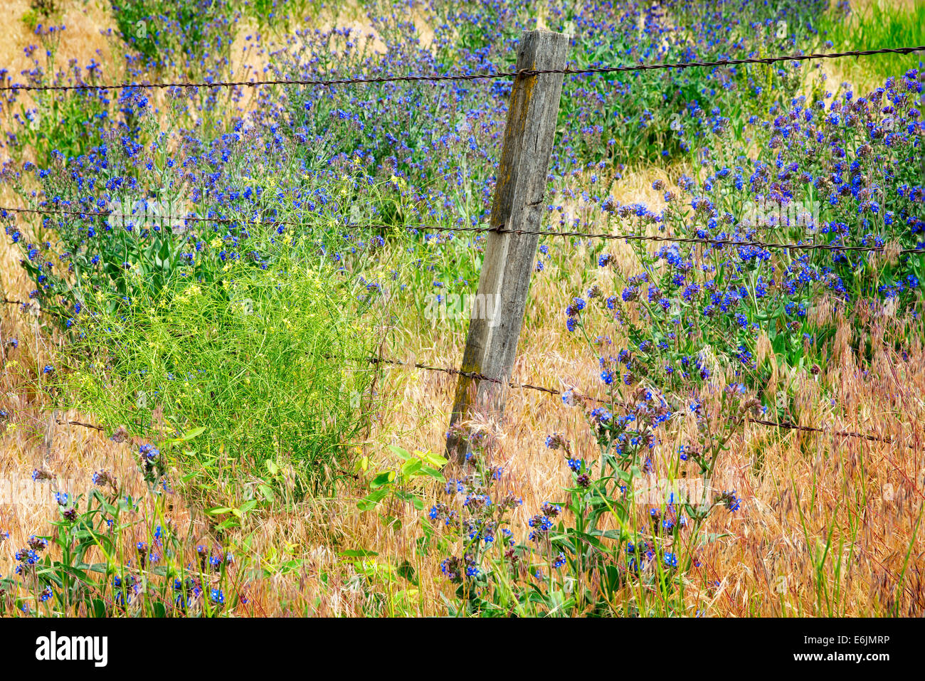 Variety of Forget-Me-Not and barbed wire fence. Along Imnaha River, Eastern Oregon. Hells Canyon National Recreation Stock Photo