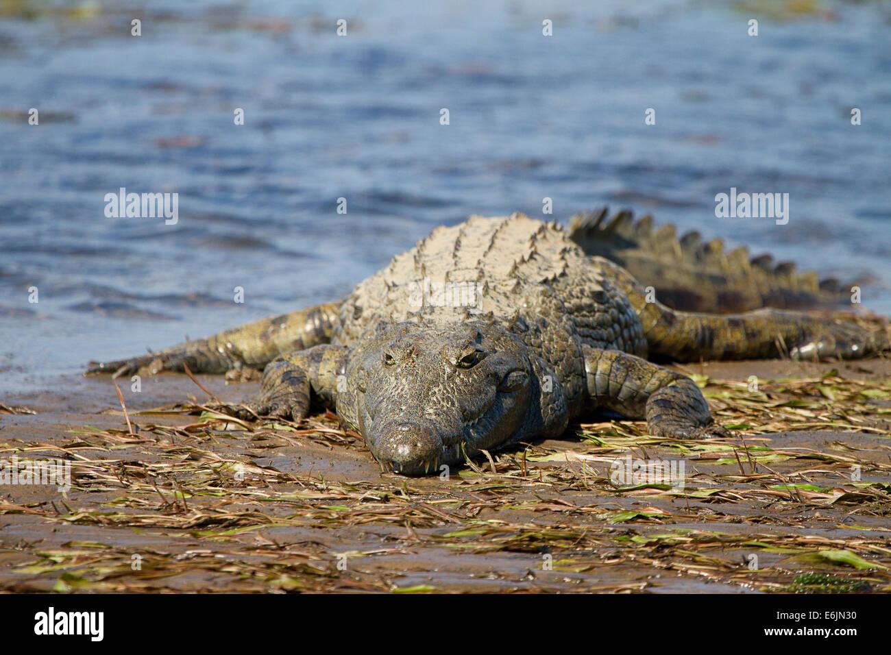 Crocodile basking in the sun, Zambezi River - Stock Image