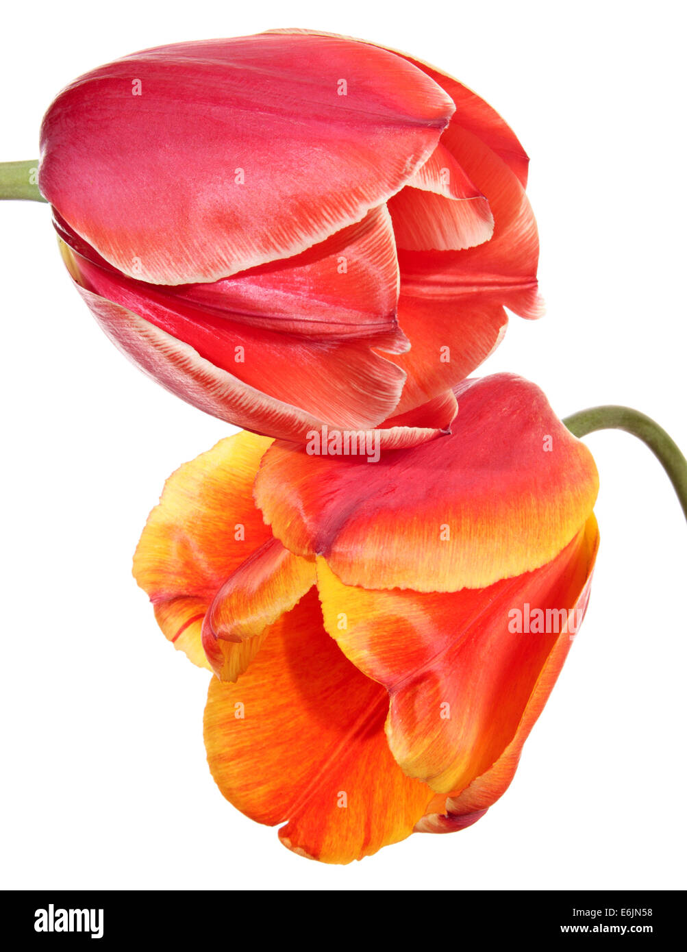 Tulips. Pink and red-yellow flowers on a white background - Stock Image