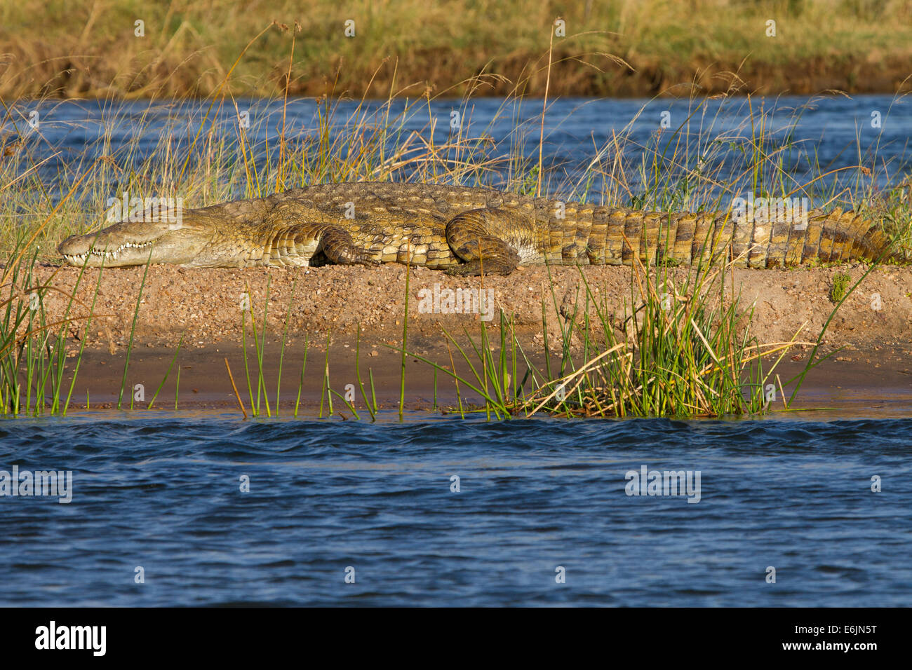 Crocodile basking in the sun - Stock Image