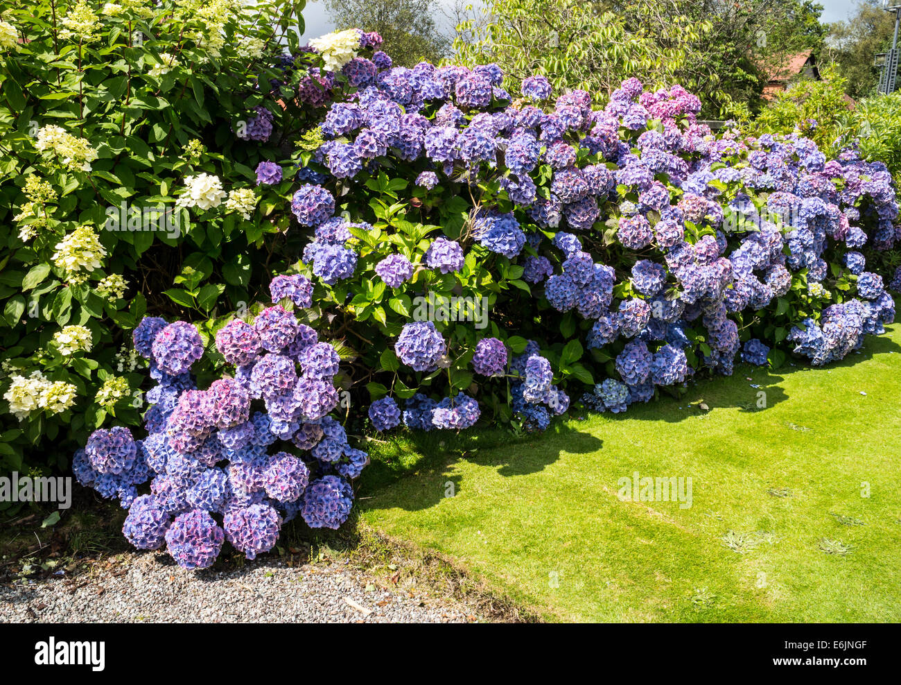 Hydrangea bush in bloom - Stock Image