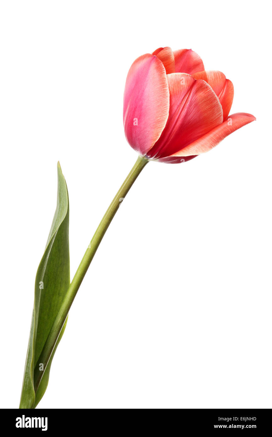 Tulips  Beautiful single pink flower isolated on a white