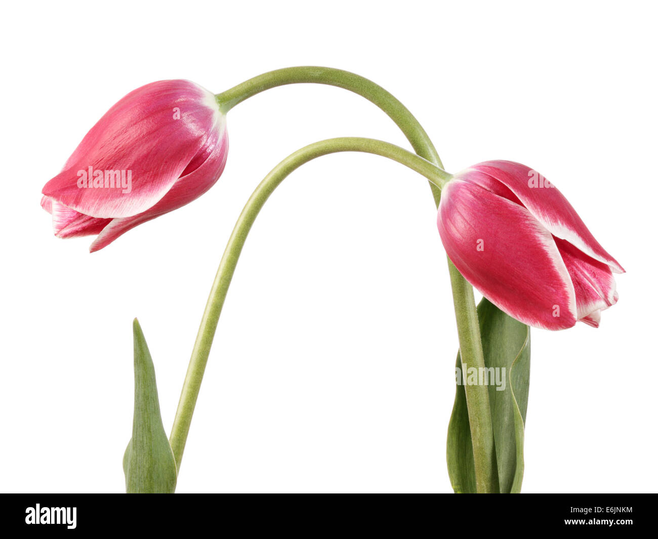 Tulips. Two pink flowers isolated on a white background - Stock Image
