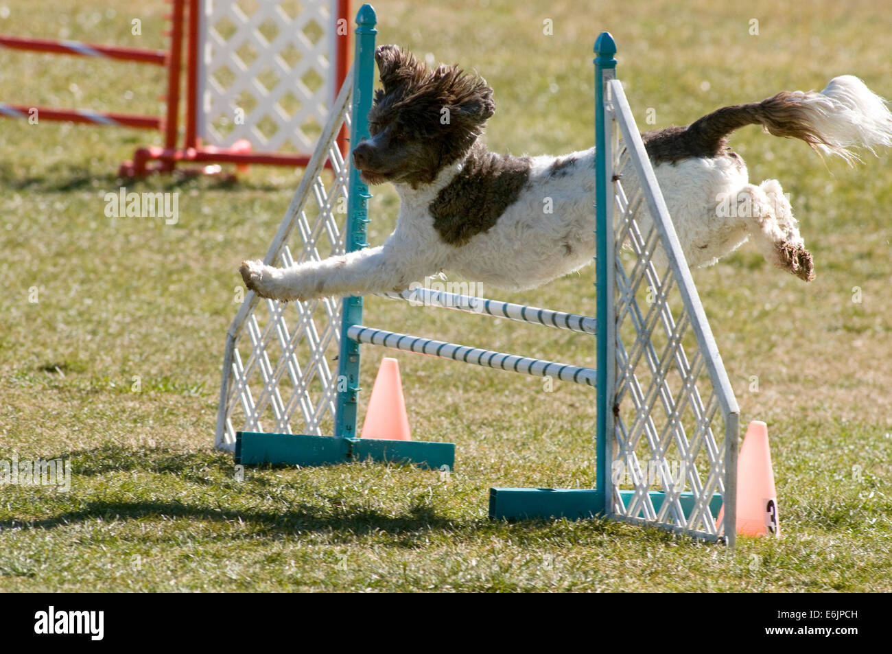 A brown and white Spaniel mix  jumping over a wingless jump agility equipment in a field. - Stock Image