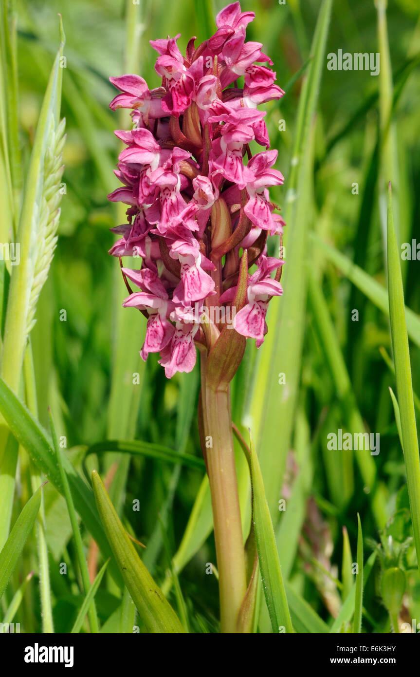 Early Marsh Orchid - Dactylorhiza incarnata coccinea North Uist - Stock Image