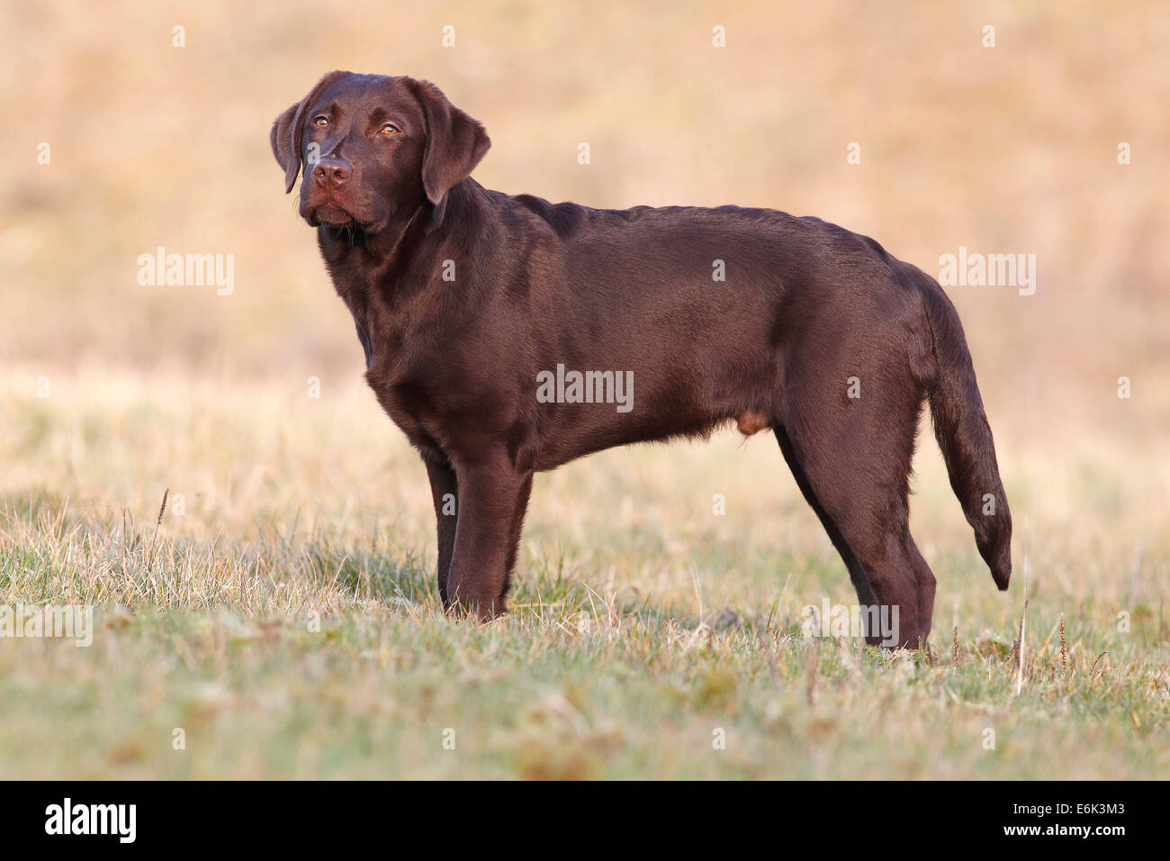 Chocolate Labrador Retriever, male dog standing in the grass, Germany - Stock Image