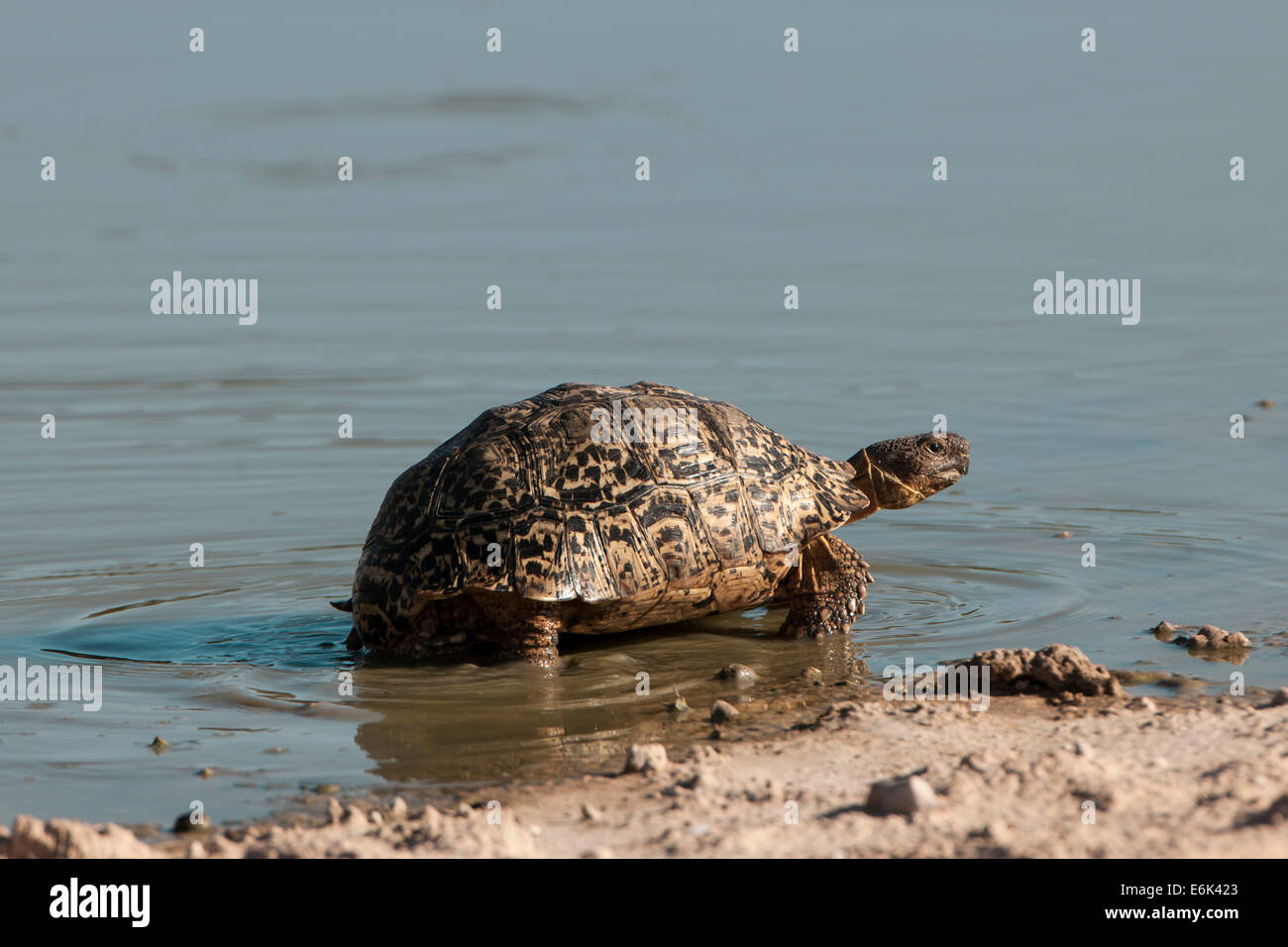 Leopard Tortoise (Geochelone pardalis), Kgalagadi Transfrontier Park, Northern Cape, South Africa Stock Photo