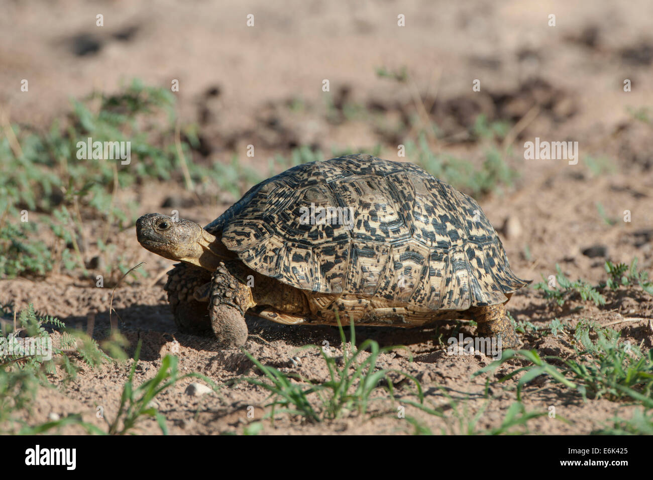 Leopard Tortoise (Geochelone pardalis), Kgalagadi Transfrontier Park, Northern Cape, South Africa Stock Photo