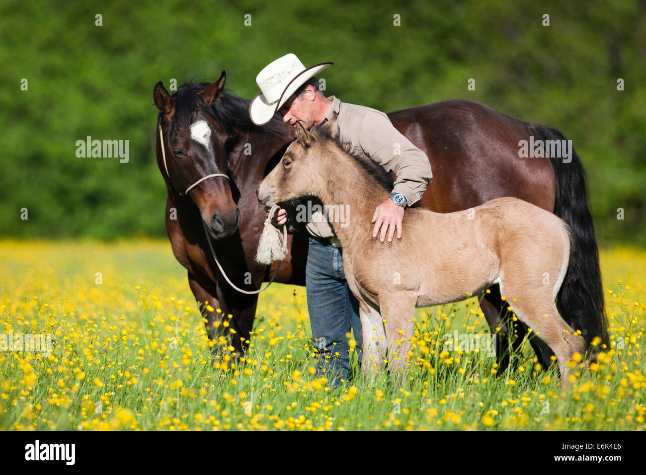 Cowboy with a bay and buckskin Quarter Horse, mare and foal, on a flower meadow, North Tyrol, Austria - Stock Image
