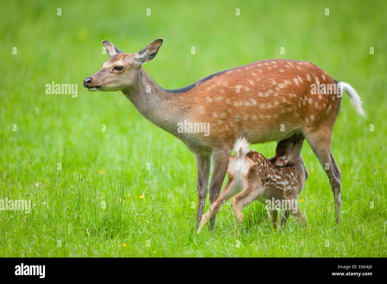 Sika Deer (Cervus nippon), hind suckling young, captive, Bavaria, Germany - Stock Image