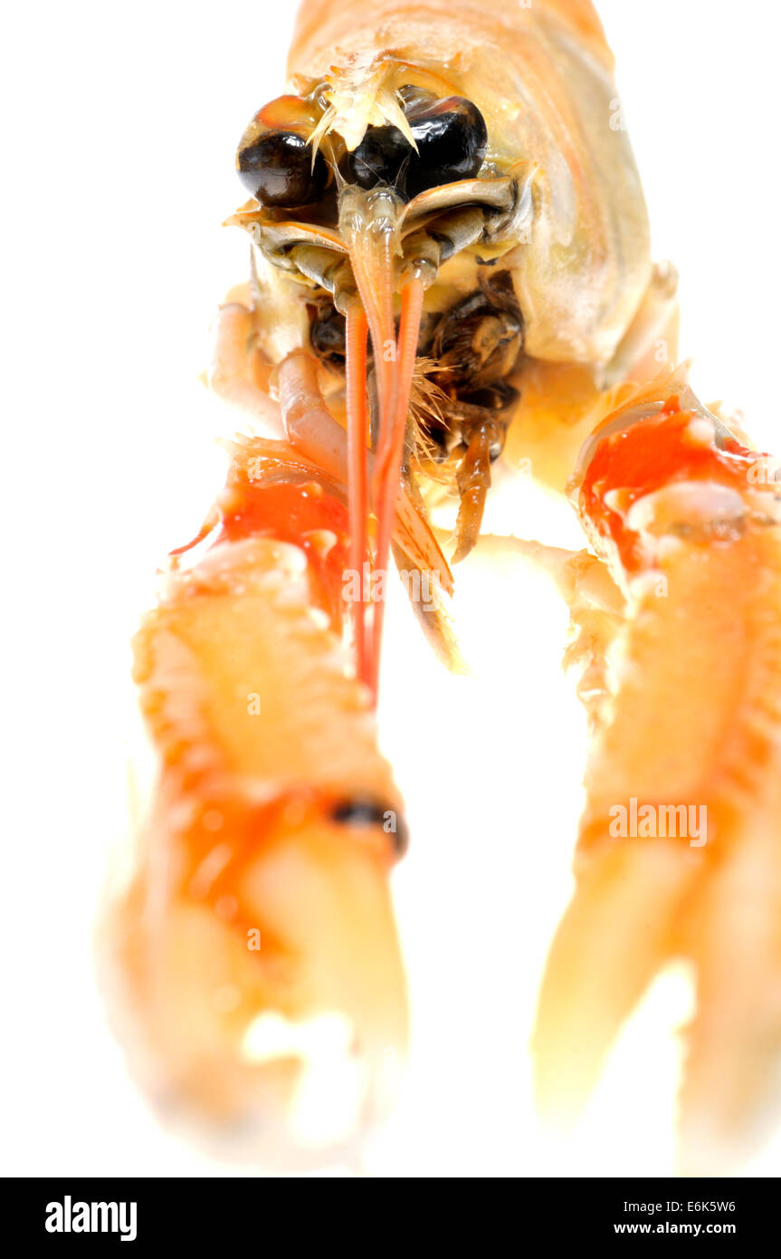Raw Langoustine (Nephrops norvegicus) known as the Norway lobster, Dublin Bay prawn, or scampi - Stock Image