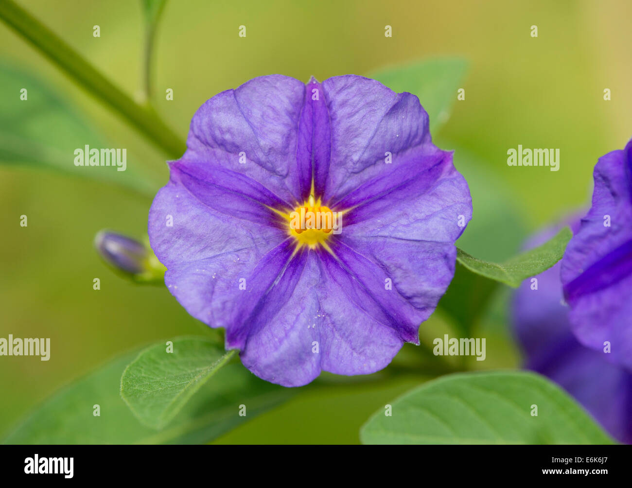 Blue flowering bush stock photos blue flowering bush stock images blue potato bush lycianthes rantonnetii flowering thuringia germany stock image izmirmasajfo