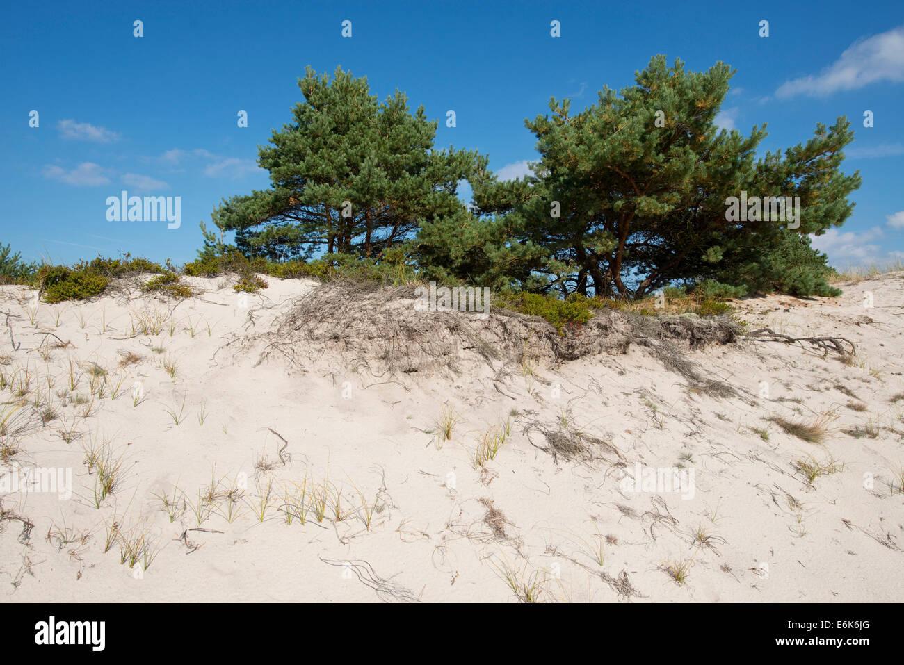 Dunes with Scots Pines (Pinus sylvestris), Darßer Ort, Darß, Western Pomerania Lagoon Area National Park - Stock Image