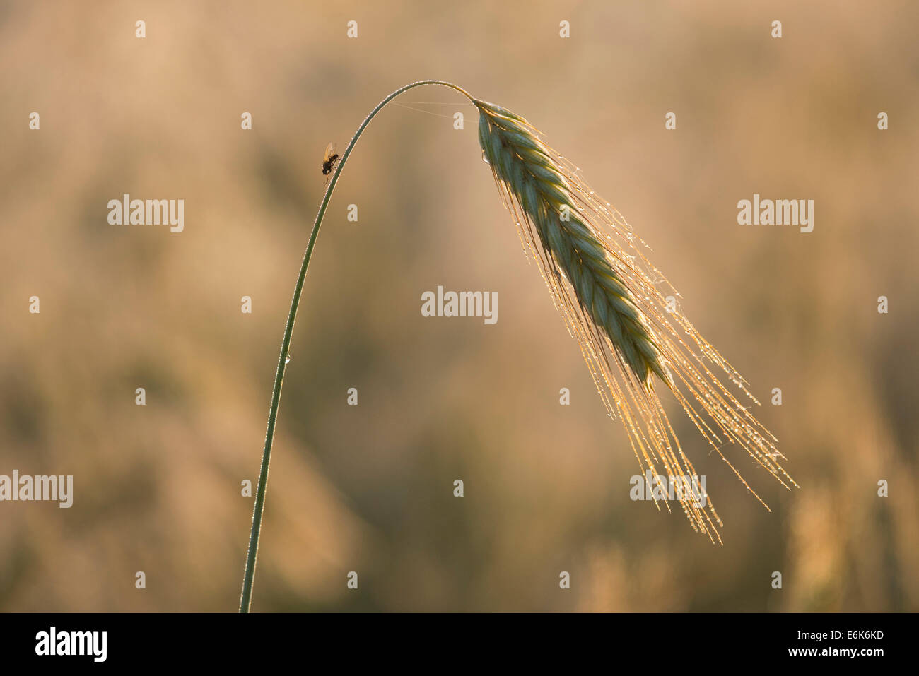 Barley (Hordeum vulgare), ear with morning dew, Thuringia, Germany - Stock Image