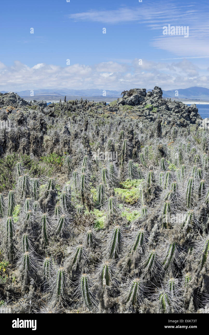 Cacti covered in lichen on Damas Island, Coquimbo Region, Chile Stock Photo