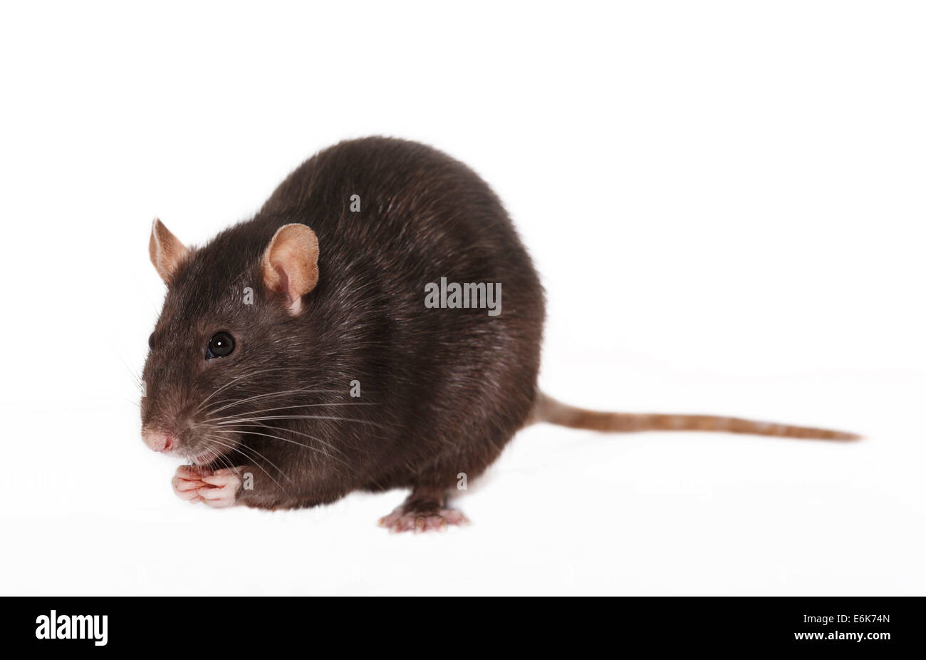 Brown Rat (Rattus norvegicus forma domestica) - Stock Image