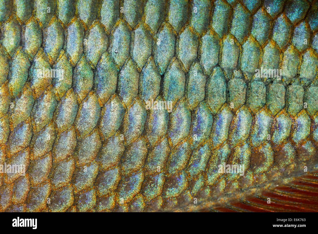 Scales of a Jewel Rainbow Fish or Banded Rainbowfish (Melanotaenia trifasciata), native to Australia, freshwater - Stock Image