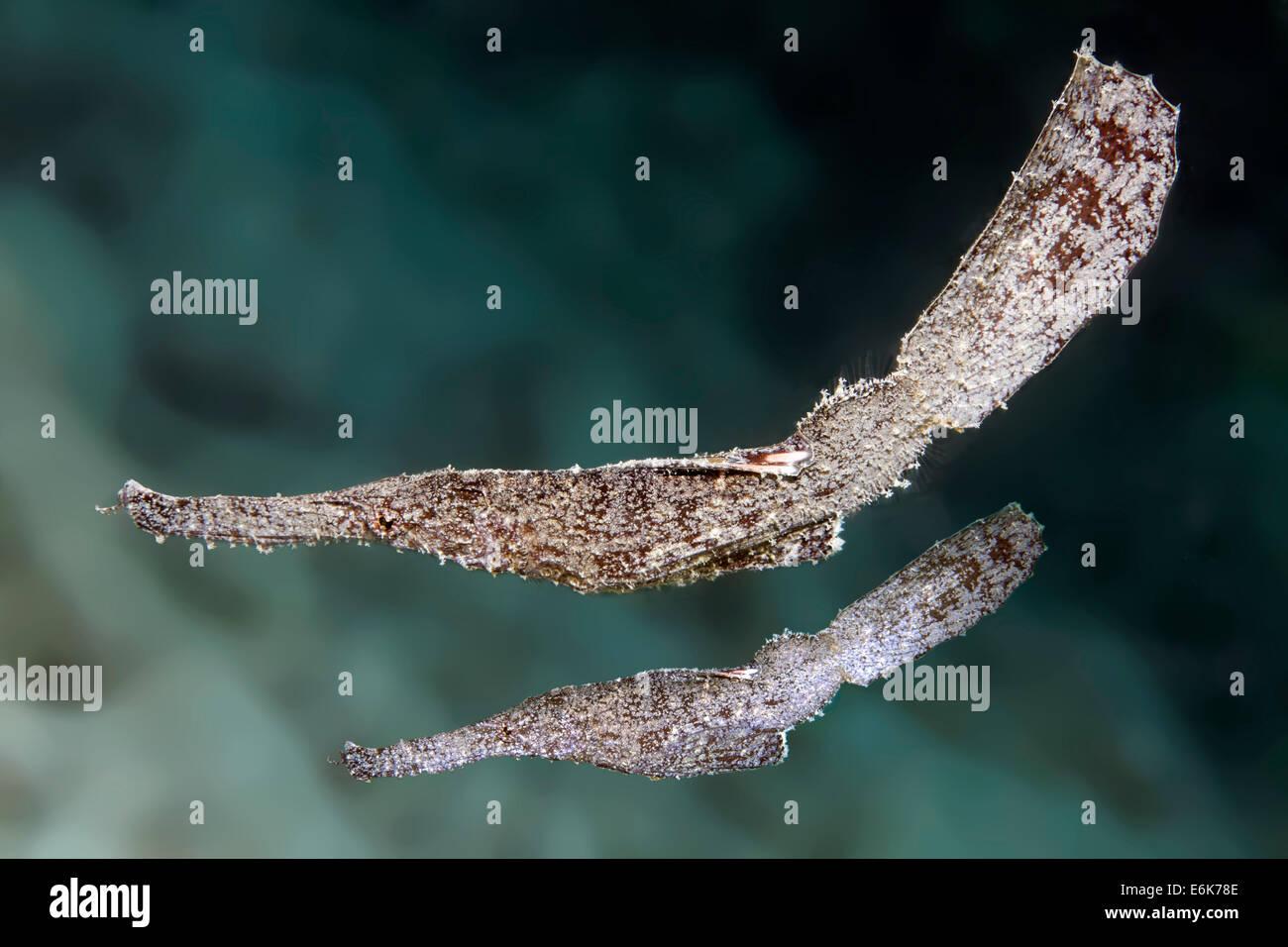 Robust Ghost Pipefish (Solenostomus cyanopterus), pair, Indian Ocean, Embudu, South Malé Atoll, Maldives - Stock Image