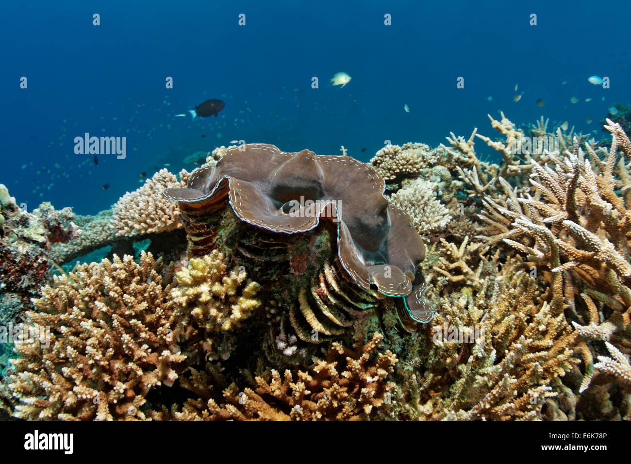Giant Clam (Tridacna gigas), growning in coral reef with various Acropora Corals (Acropora sp.), Indian Ocean, Embudu - Stock Image