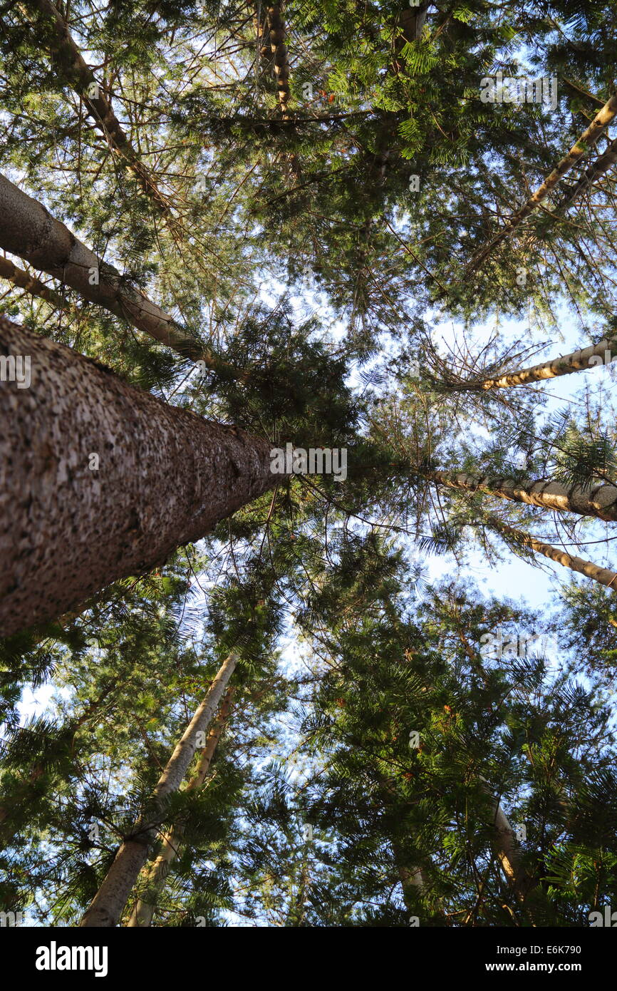 Looking up through the canopy of a stand of conifer trees in Fremantle, Western Australia. - Stock Image