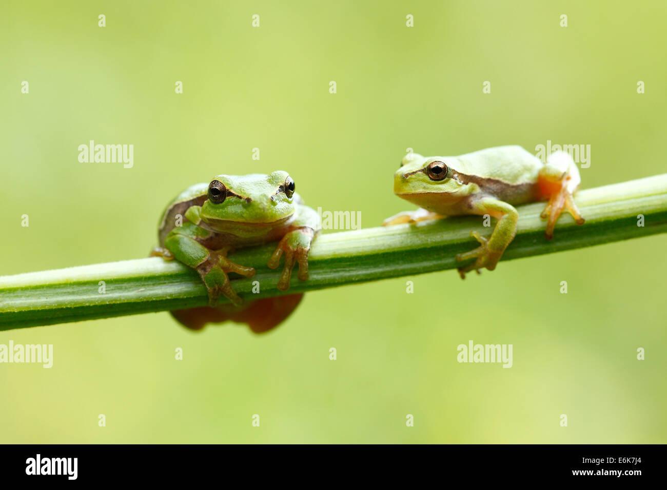 Two European Treefrogs (Hyla arborea) perched on a blade of grass, Tyrol, Austria - Stock Image