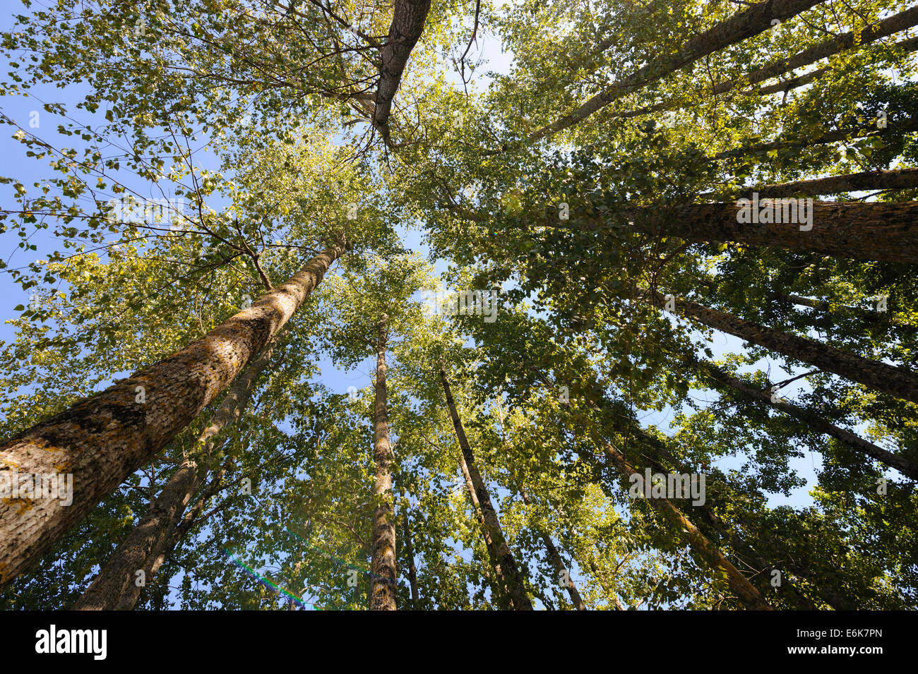 Forest trees from below - Stock Image