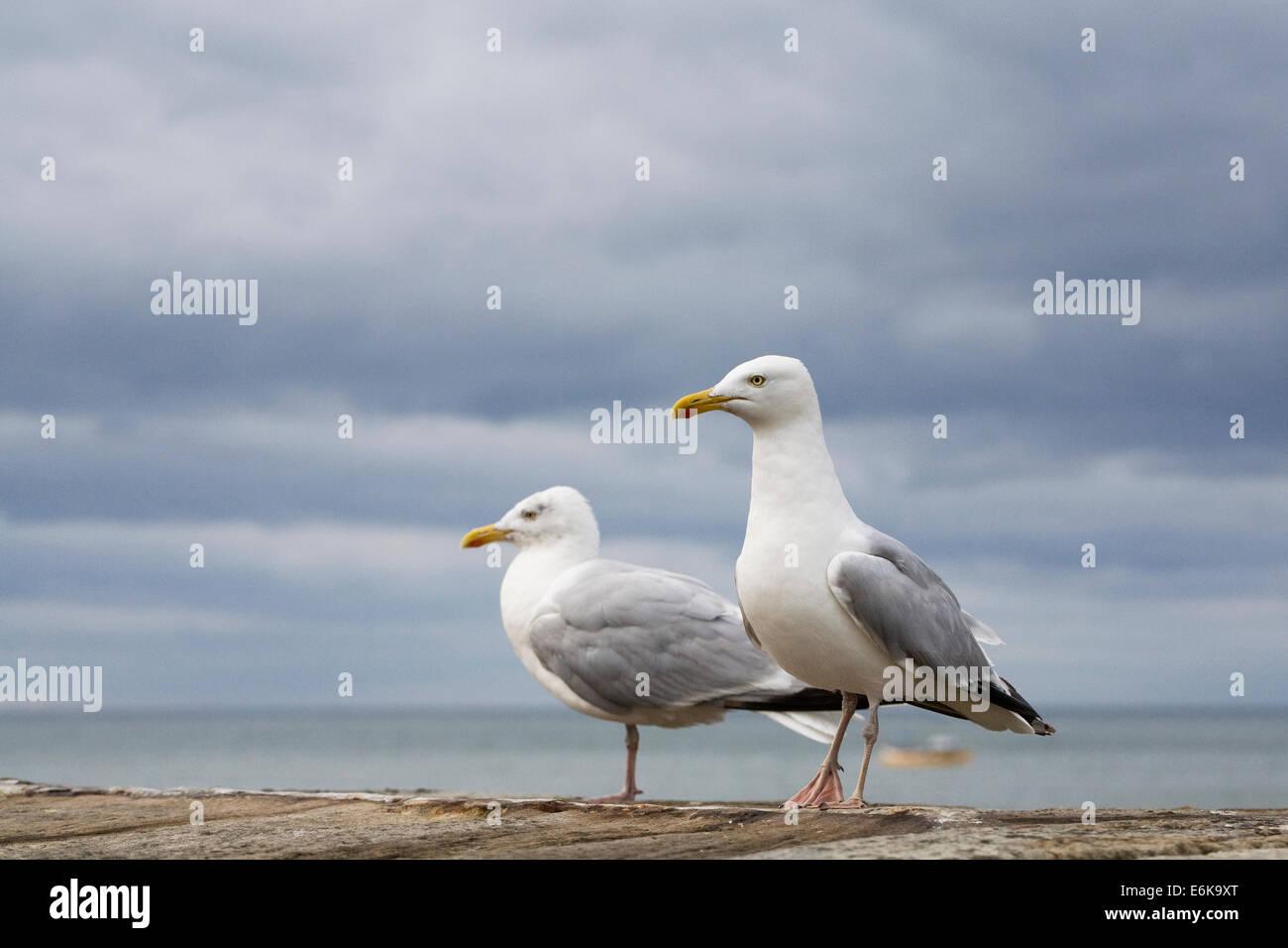 Larus argentatus. Herring Gulls on the sea wall. - Stock Image