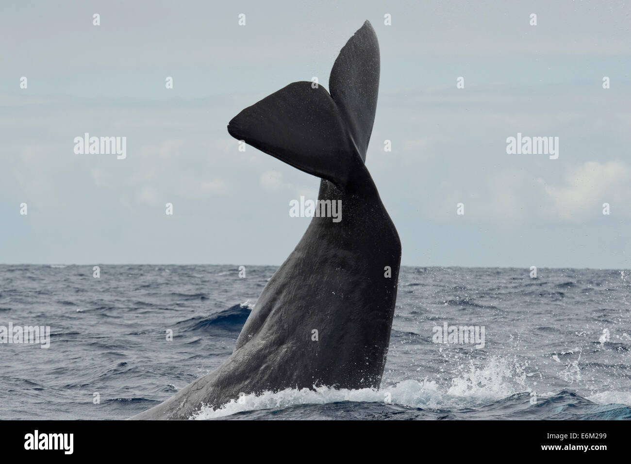 Sperm Whale, Physeter macrocephalus, lob-tailing at the surface. Azores, Atlantic Ocean. - Stock Image