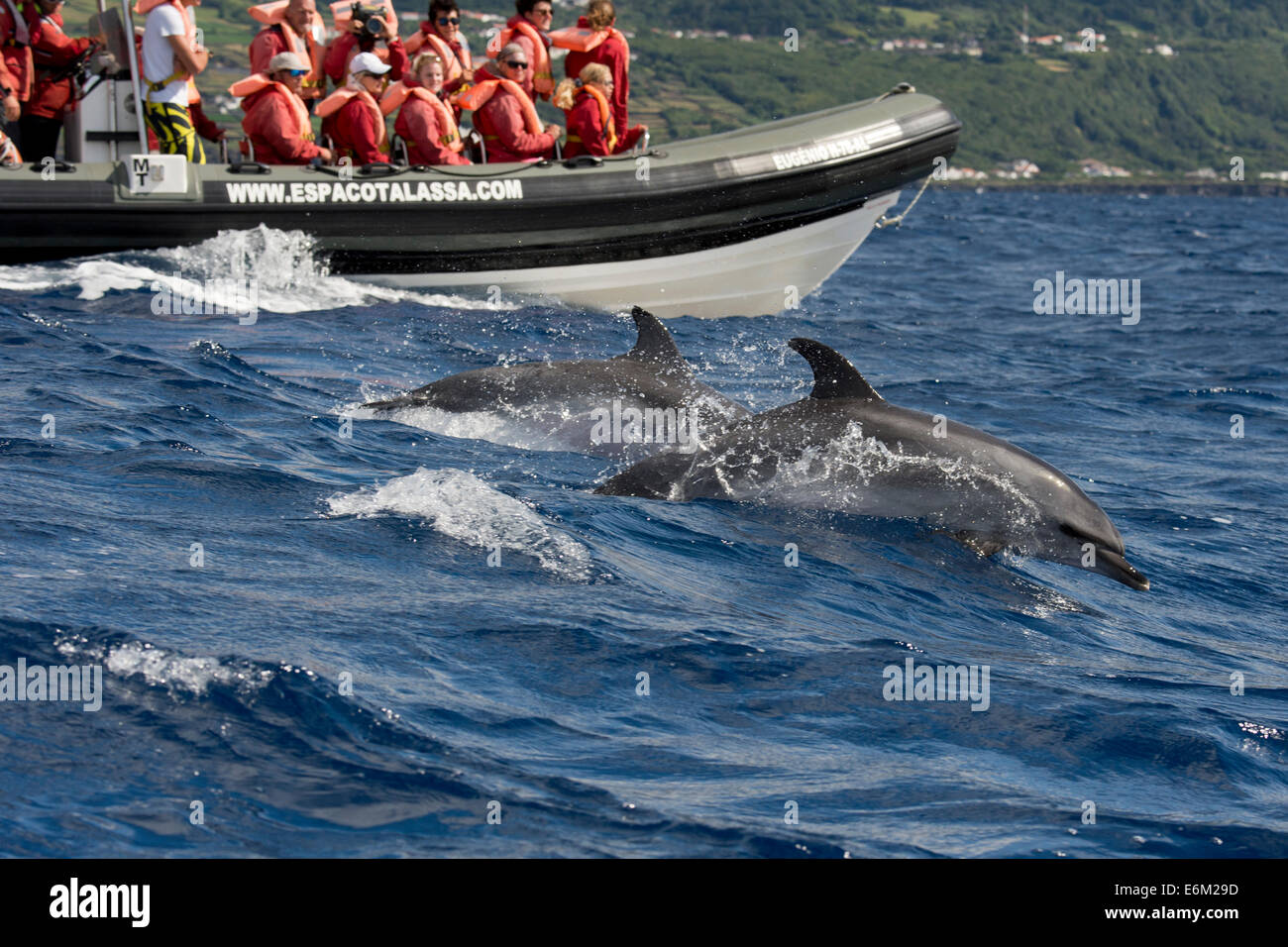 Tourists watch an Atlantic Spotted Dolphin (Stenella frontalis) during a Whale-Watching trip. Azores, Atlantic Ocean. - Stock Image