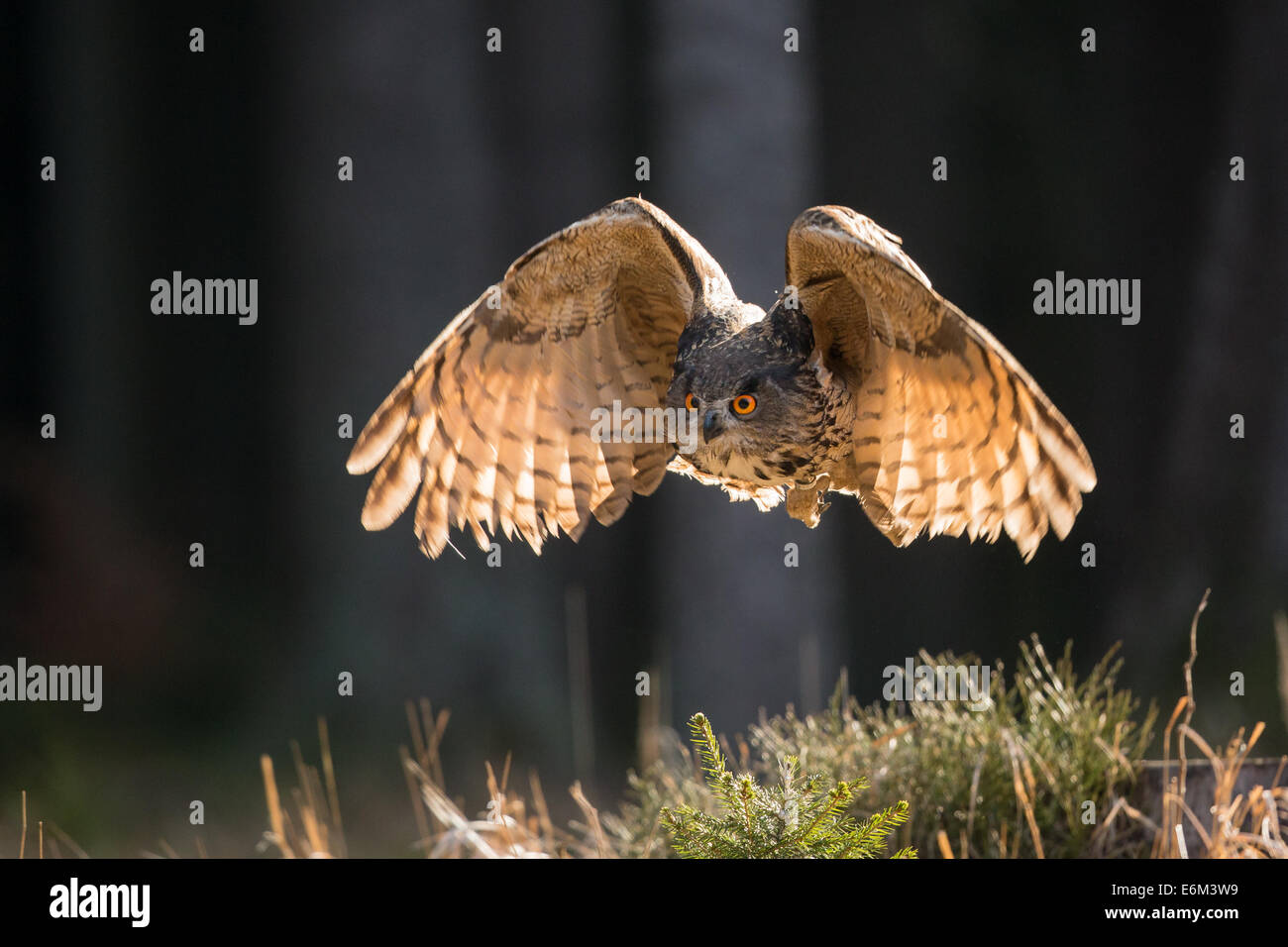 Eurasian Eagle Owl (Bubo bubo) in flight, backlit - Stock Image