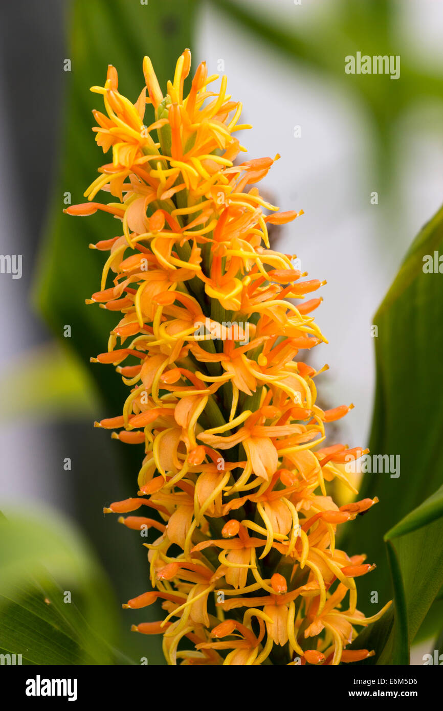 Flower spike of the Edward Needham selected ginger lily, Hedychium densiflorum 'Embossed Leaf' - Stock Image