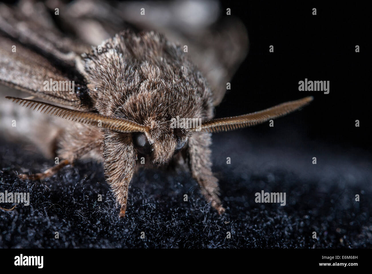 Swallow Prominent moth's non reflective coating on compound eyes that absorbs light inspires more research into - Stock Image