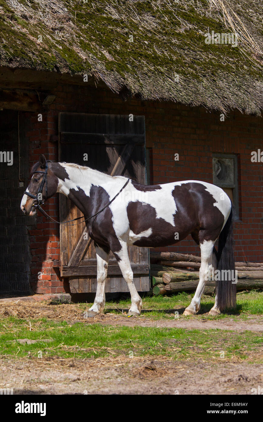 American Breed Of Horse High Resolution Stock Photography And Images Alamy
