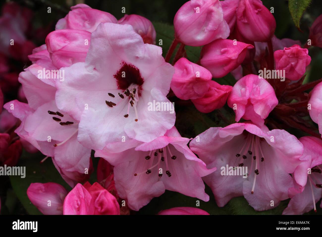 rhododendron glischrum Rude Stock Photo