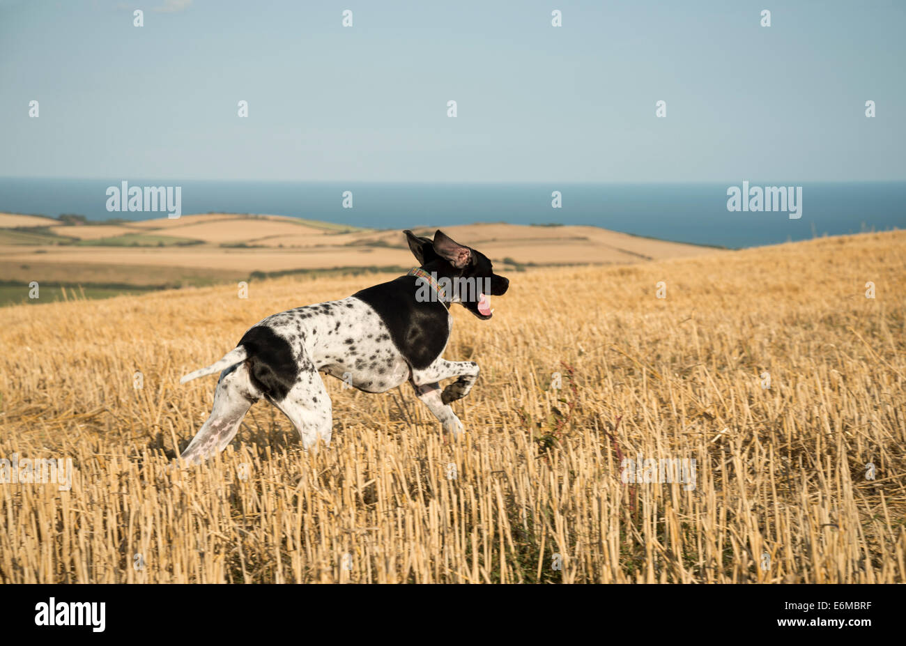 English Pointer dog in a stubble field. - Stock Image