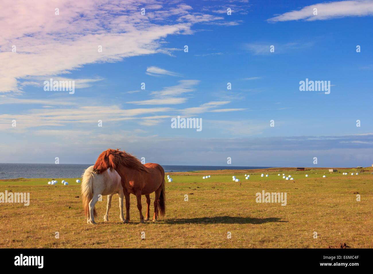 Icelandic horses - Stock Image