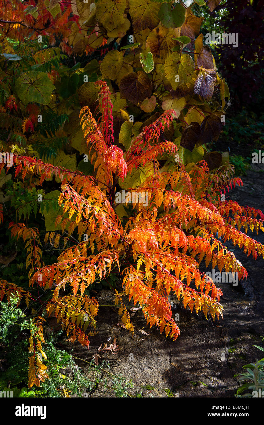 Rhus autumn leaves in a Wiltshire garden - Stock Image
