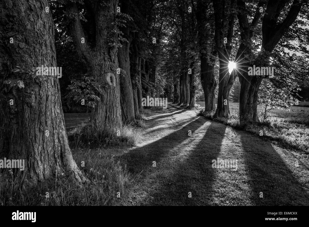 Sunrays among trees in a tree alley, Denmark - Stock Image