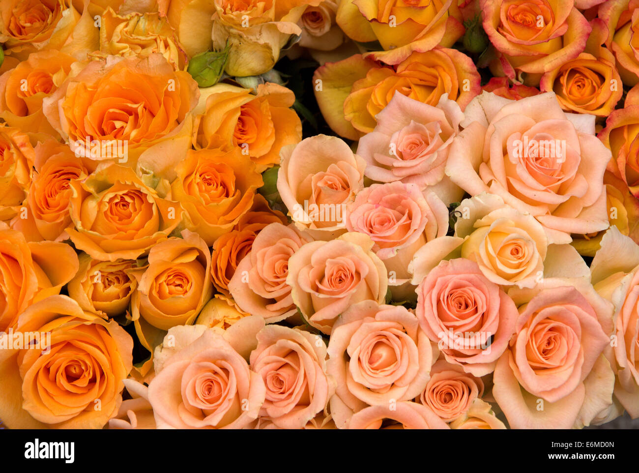 Group of pink and orange roses - Stock Image