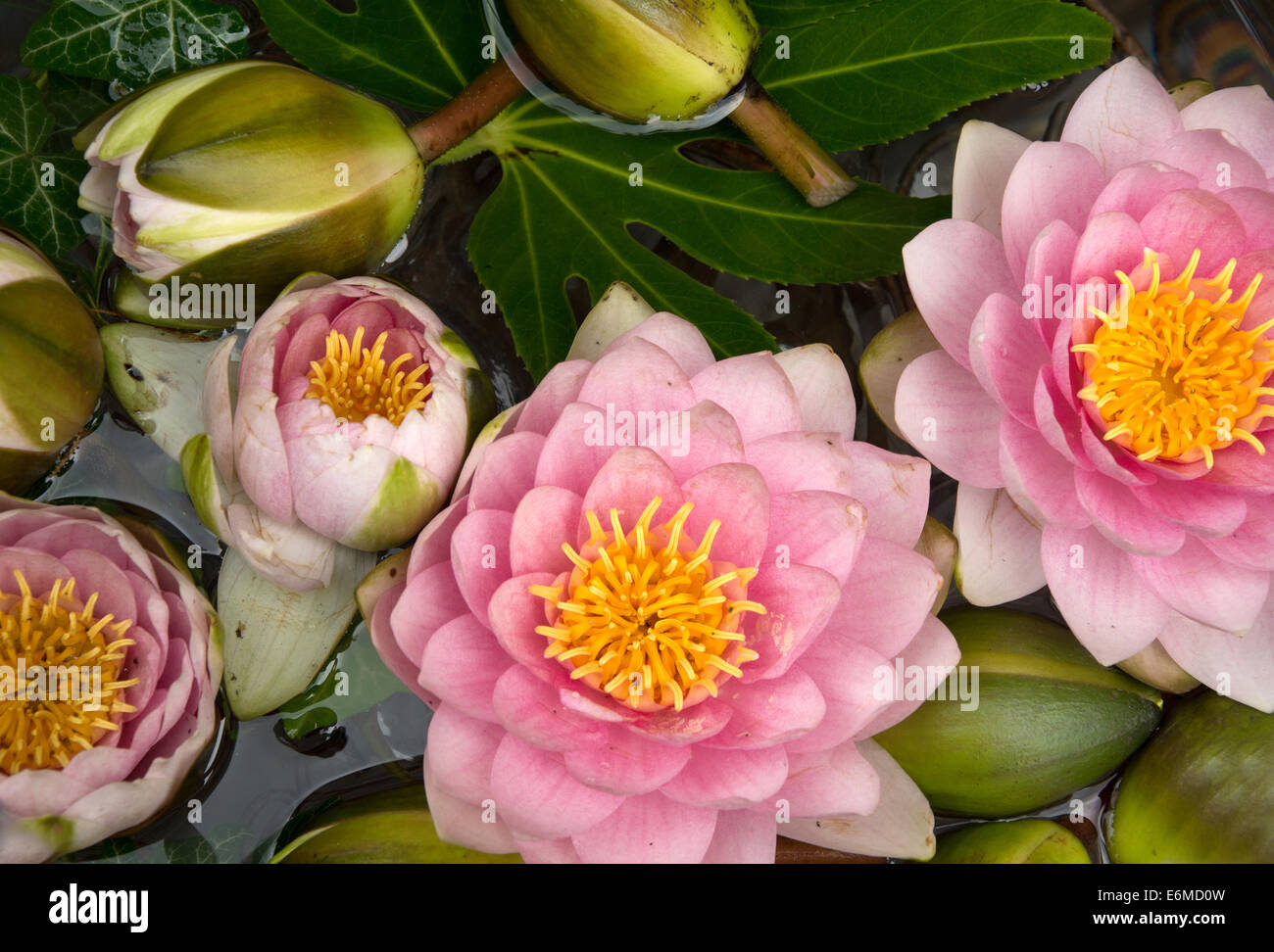 Pink water lilies in Vienna, Austria - Stock Image
