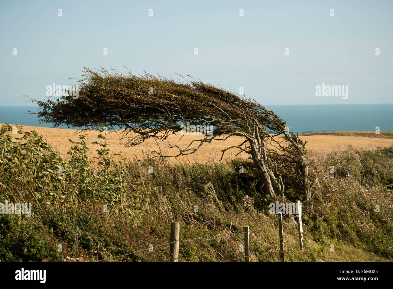 Wind blown or windswept tree near the southern coast of England. - Stock Image
