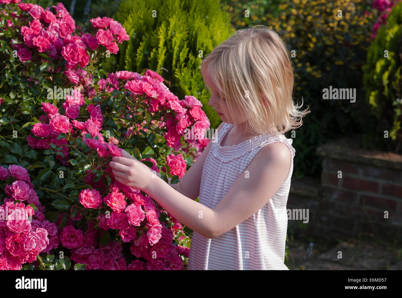 Young girl inspecting pink roses for 'creepy crawlies' - Stock Image
