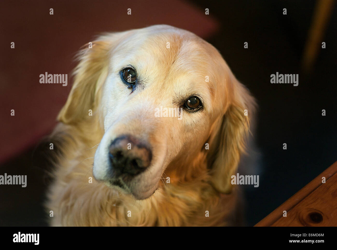 Golden retriever dog in attentive mood - Stock Image